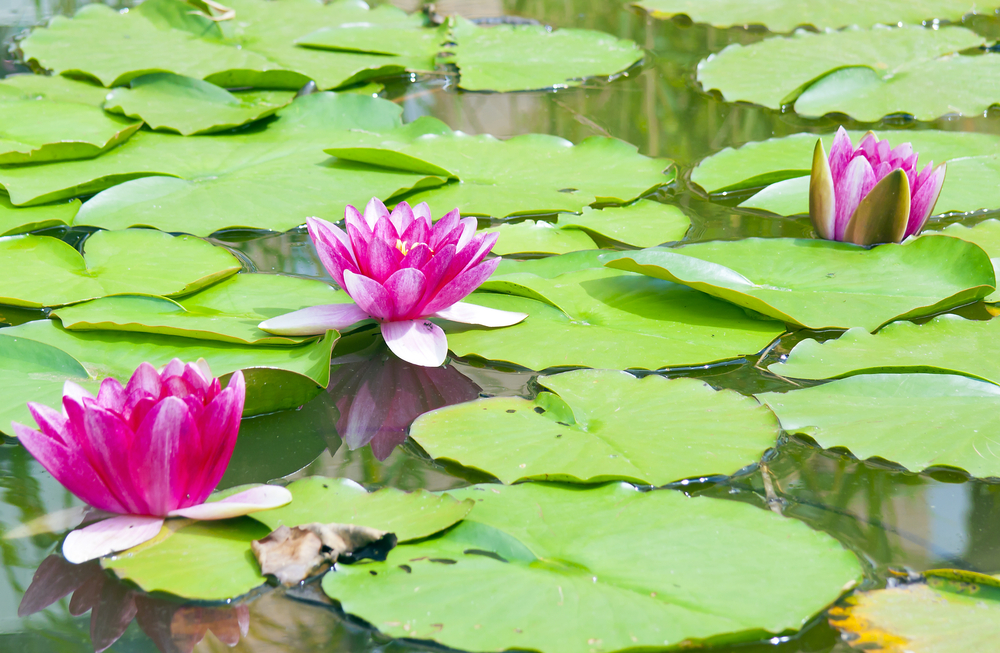 Water lilies – inspirational beauty?