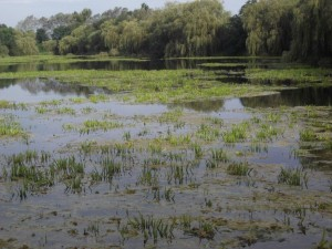 Aquatic Plants - Water Soldier prior to removal by Aquatic Solutions UK at Stibbington Lakes