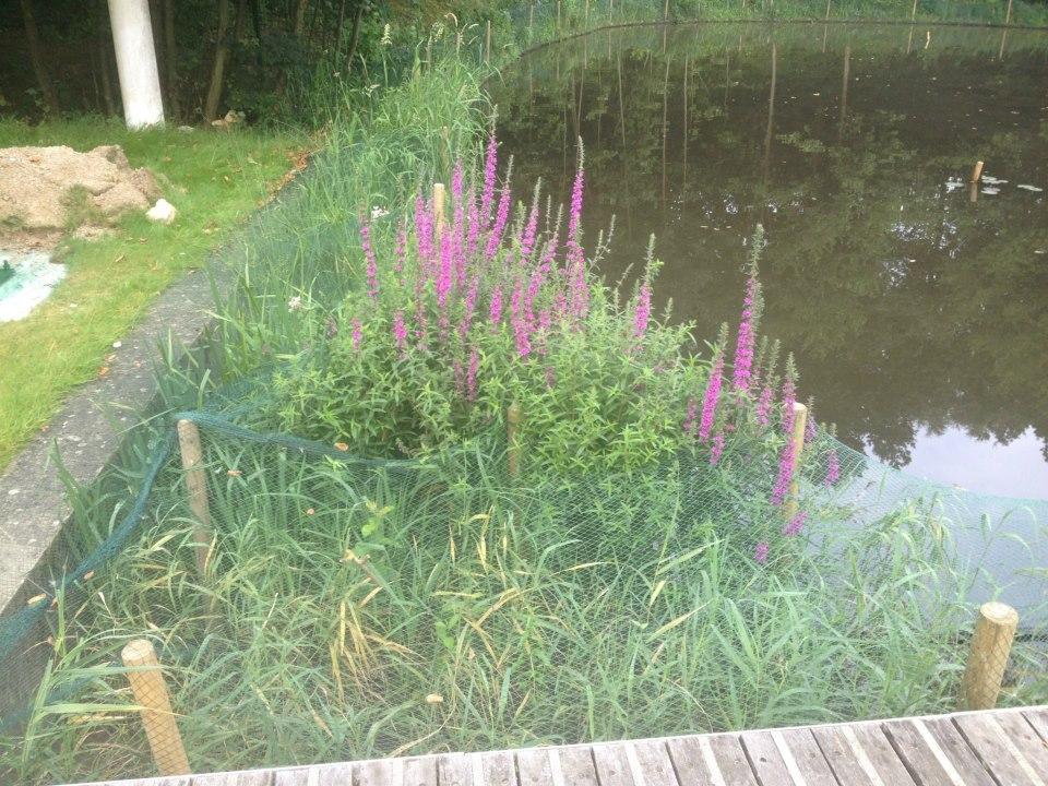 Lake Restoration and Marginal Planting