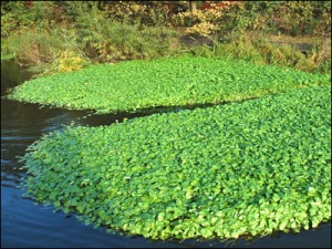 invasive aquatic plants like Floating Pennywort can cause problems in a water course