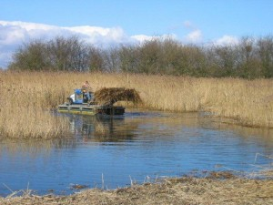 Reed cutting on RSPB site